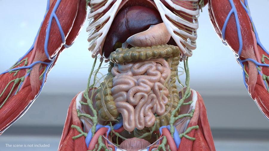 Анатомия мужского тела royalty-free 3d model - Preview no. 3