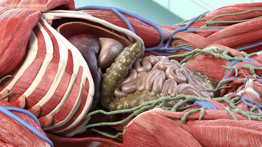 Анатомия мужского тела royalty-free 3d model - Preview no. 39