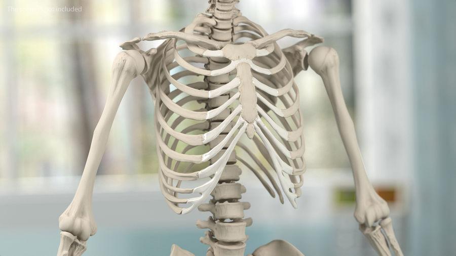 Анатомия мужского тела royalty-free 3d model - Preview no. 67