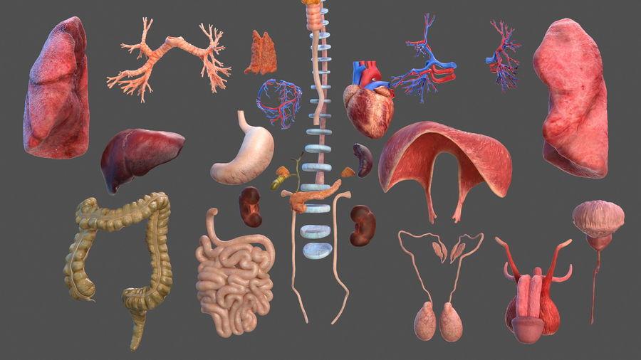 Анатомия мужского тела royalty-free 3d model - Preview no. 8
