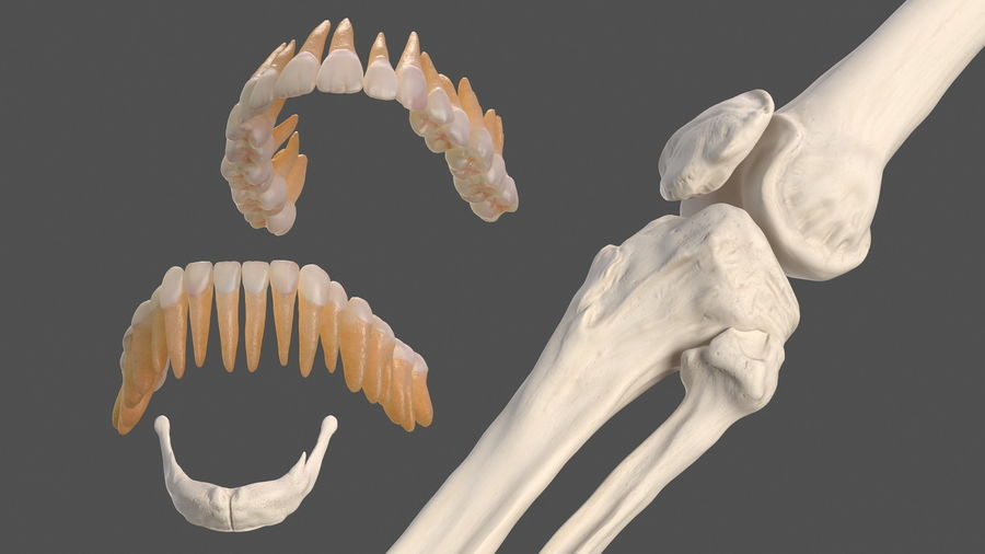Анатомия мужского тела royalty-free 3d model - Preview no. 81