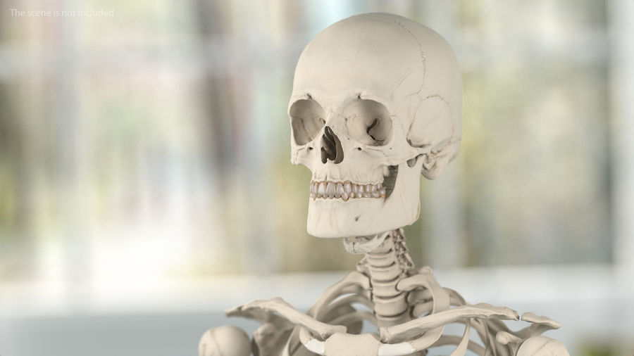 Анатомия мужского тела royalty-free 3d model - Preview no. 64
