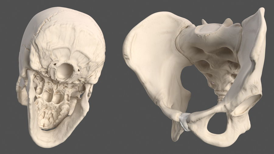 Анатомия мужского тела royalty-free 3d model - Preview no. 76