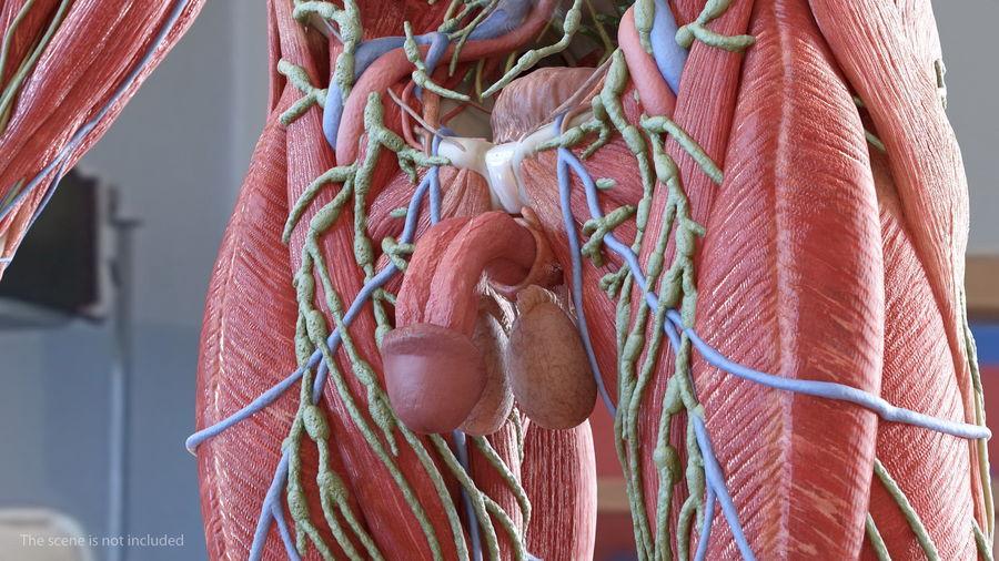 Анатомия мужского тела royalty-free 3d model - Preview no. 44