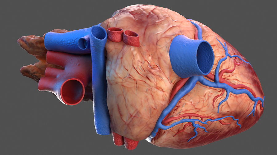 Анатомия мужского тела royalty-free 3d model - Preview no. 50