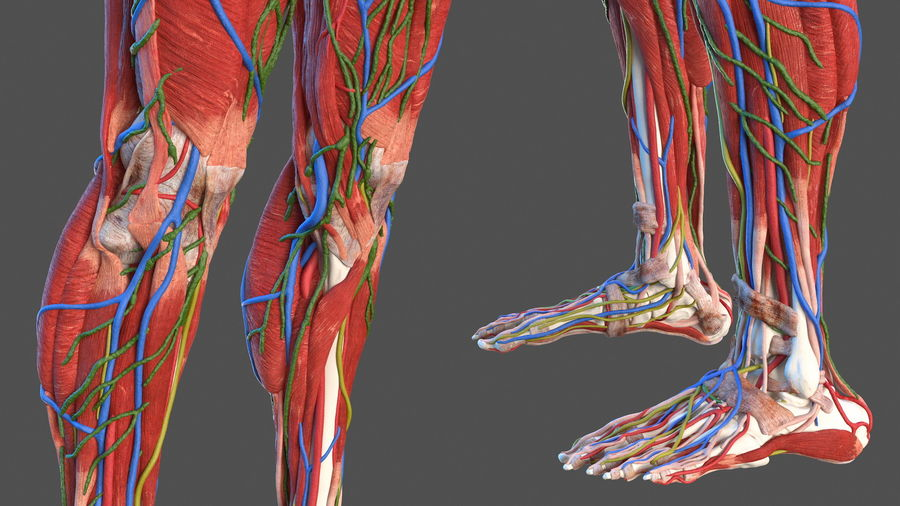 Анатомия мужского тела royalty-free 3d model - Preview no. 13