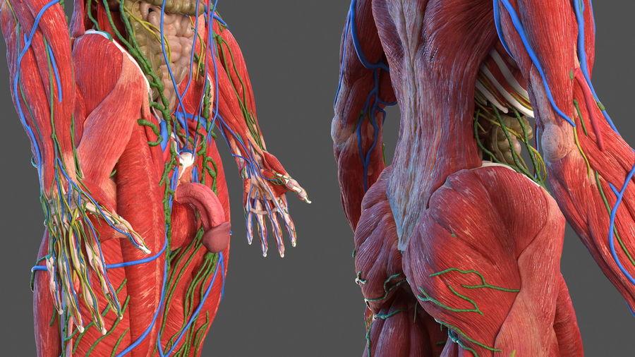 Анатомия мужского тела royalty-free 3d model - Preview no. 12