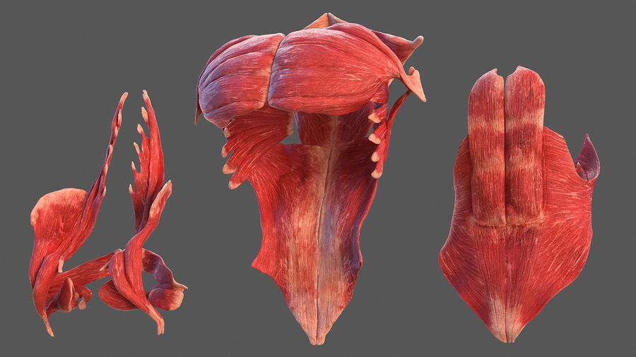 Анатомия мужского тела royalty-free 3d model - Preview no. 34
