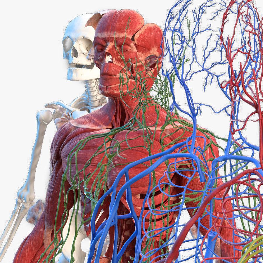 Анатомия мужского тела royalty-free 3d model - Preview no. 1
