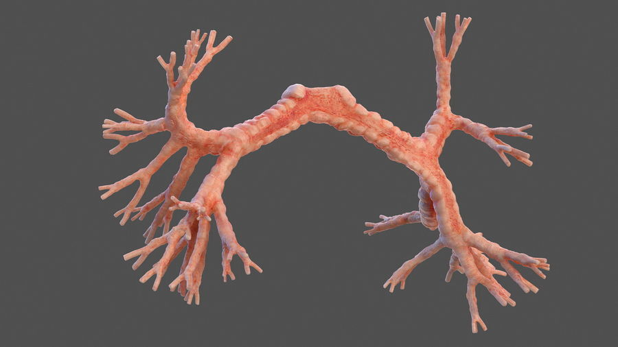 Анатомия мужского тела royalty-free 3d model - Preview no. 52
