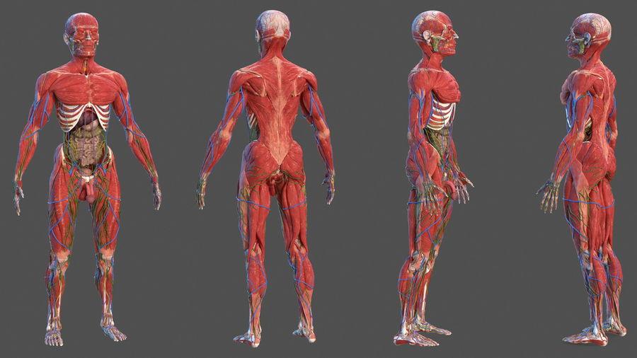 Анатомия мужского тела royalty-free 3d model - Preview no. 4