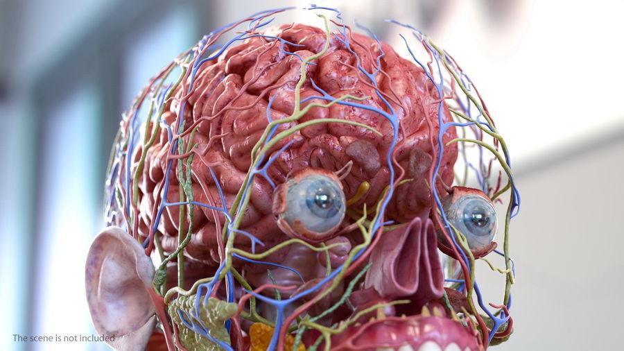 Анатомия мужского тела royalty-free 3d model - Preview no. 23