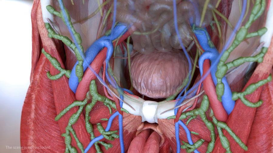 Анатомия мужского тела royalty-free 3d model - Preview no. 43
