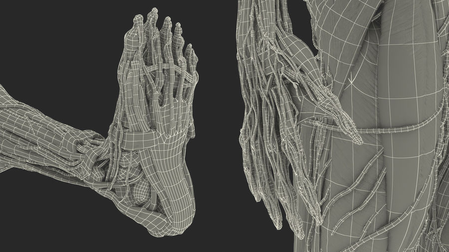 Анатомия мужского тела royalty-free 3d model - Preview no. 99