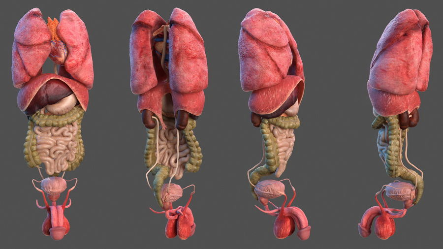 Анатомия мужского тела royalty-free 3d model - Preview no. 45