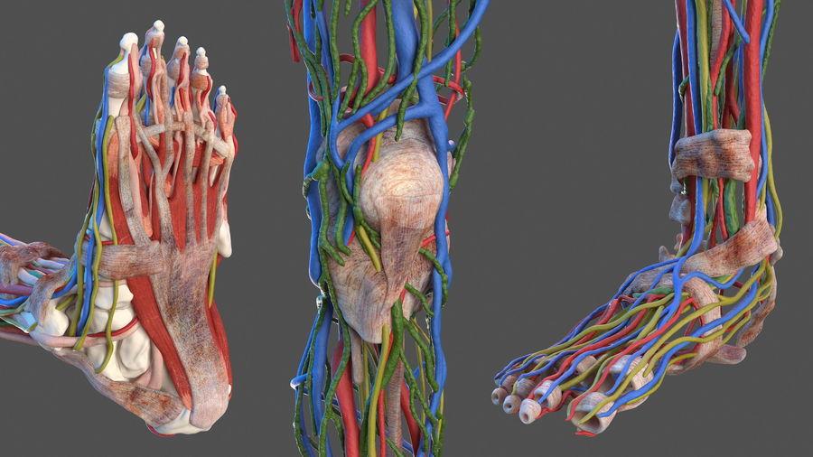 Анатомия мужского тела royalty-free 3d model - Preview no. 14