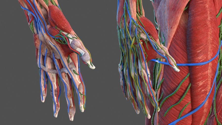 Анатомия мужского тела royalty-free 3d model - Preview no. 15