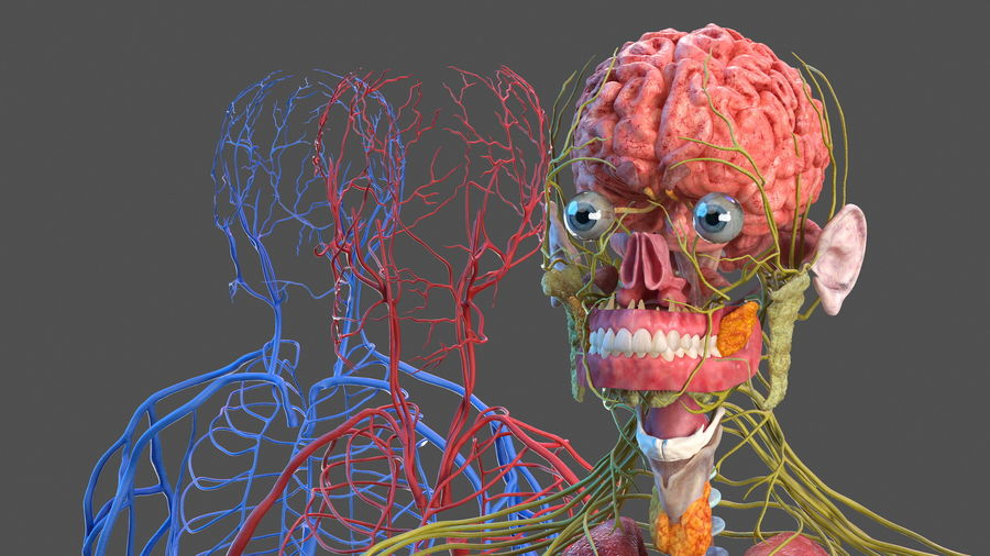 Анатомия мужского тела royalty-free 3d model - Preview no. 22