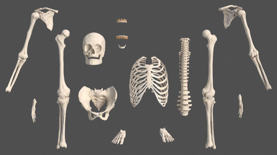 Анатомия мужского тела royalty-free 3d model - Preview no. 70