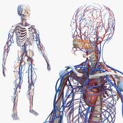 男性骨骼和心血管系统 3d model