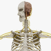 Sistema nervoso e sistema scheletrico 3d model