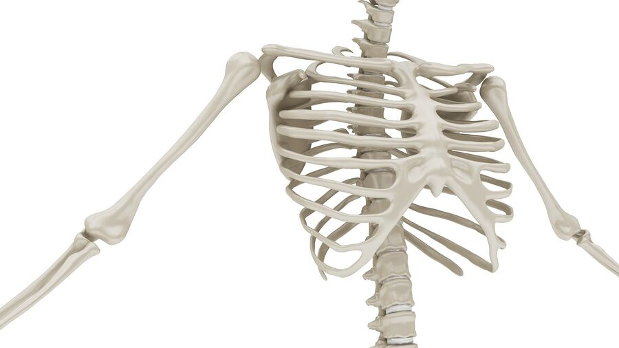 Full Body Anatomy 01 royalty-free 3d model - Preview no. 24