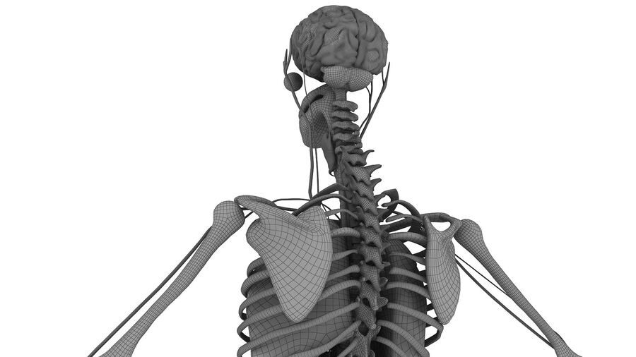 Full Body Anatomy 01 royalty-free 3d model - Preview no. 42