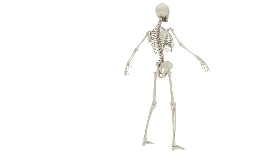 Full Body Anatomy 01 royalty-free 3d model - Preview no. 30