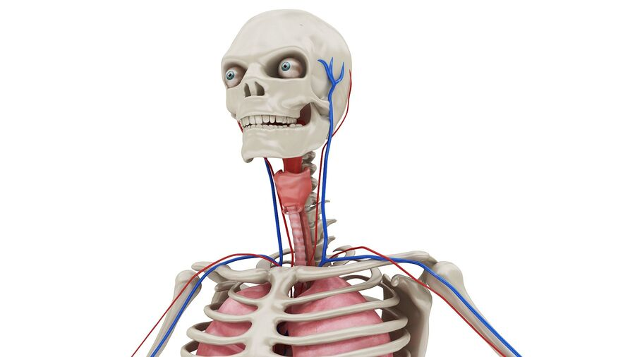 Full Body Anatomy 01 royalty-free 3d model - Preview no. 4