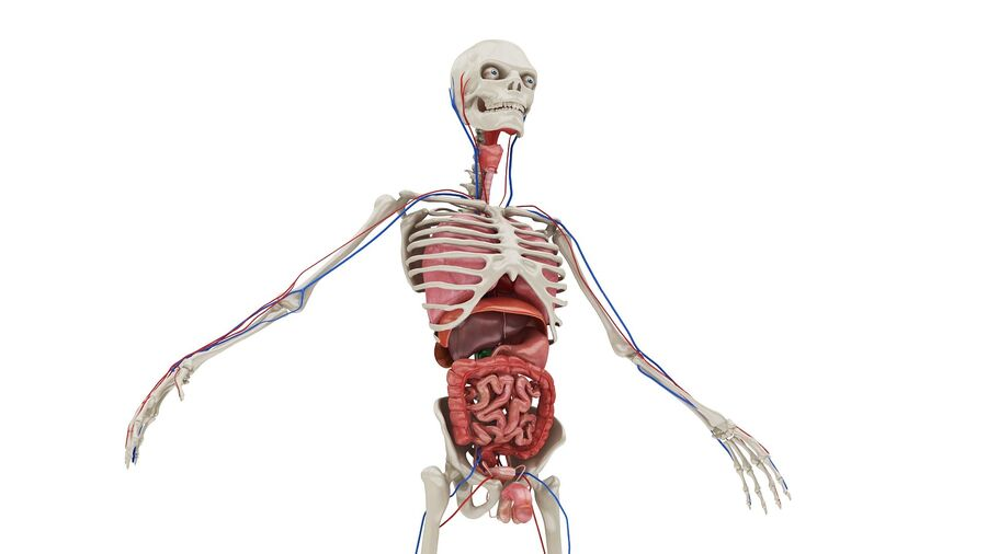 Full Body Anatomy 01 royalty-free 3d model - Preview no. 3