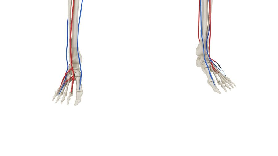 Full Body Anatomy 01 royalty-free 3d model - Preview no. 5