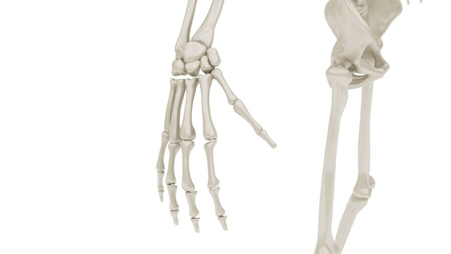 Full Body Anatomy 01 royalty-free 3d model - Preview no. 25
