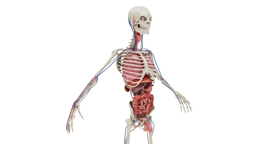 Full Body Anatomy 01 royalty-free 3d model - Preview no. 8