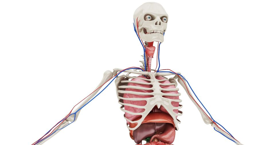 Full Body Anatomy 01 royalty-free 3d model - Preview no. 2