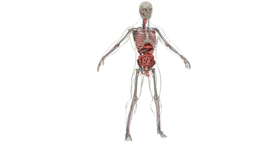 Full Body Anatomy 01 royalty-free 3d model - Preview no. 31