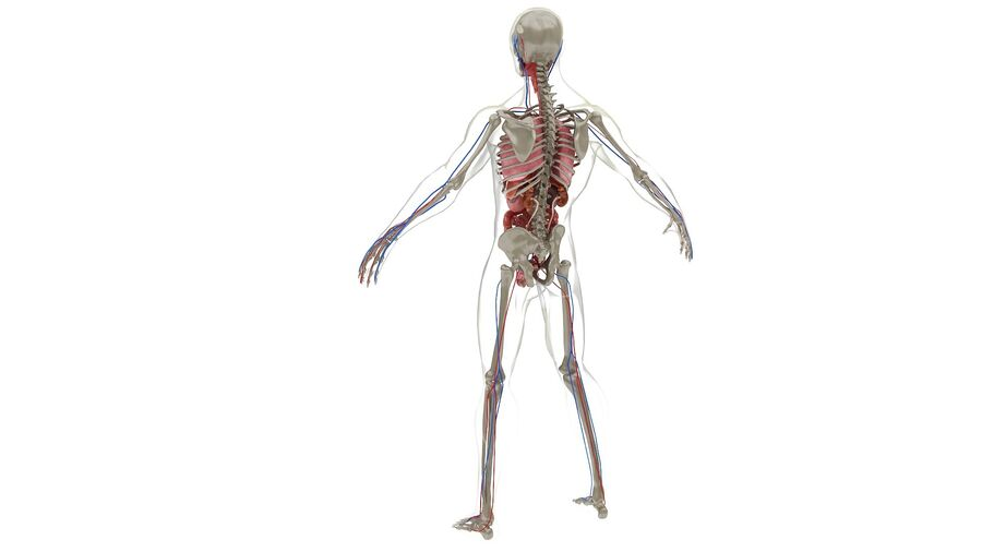 Full Body Anatomy 01 royalty-free 3d model - Preview no. 32