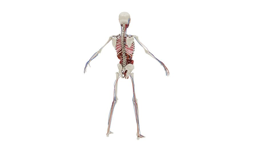 Full Body Anatomy 01 royalty-free 3d model - Preview no. 9