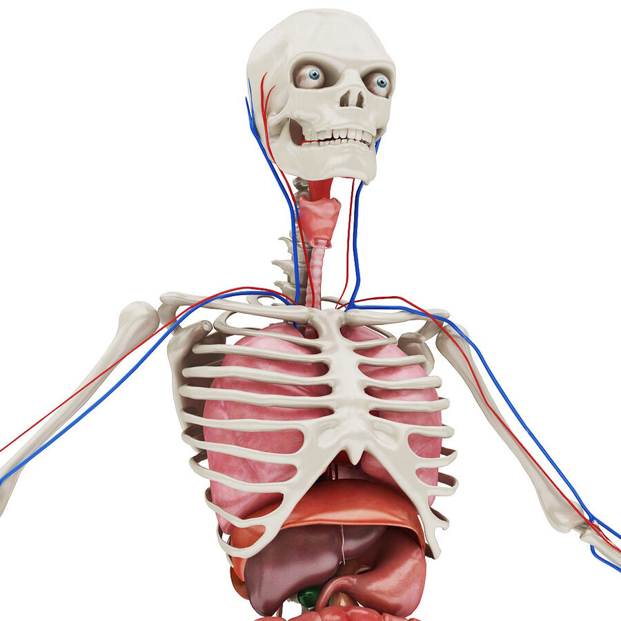 Full Body Anatomy 01 royalty-free 3d model - Preview no. 1