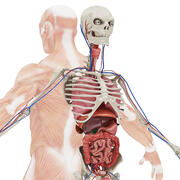 Full Body Anatomy 02 3d model