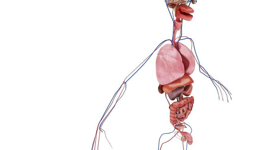 Full Body Anatomy Viscera royalty-free 3d model - Preview no. 10