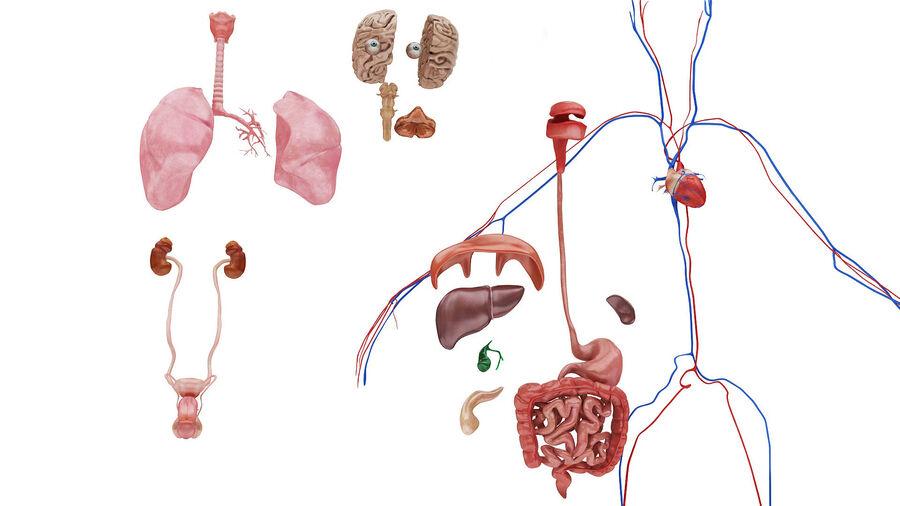 Full Body Anatomy Viscera royalty-free 3d model - Preview no. 48