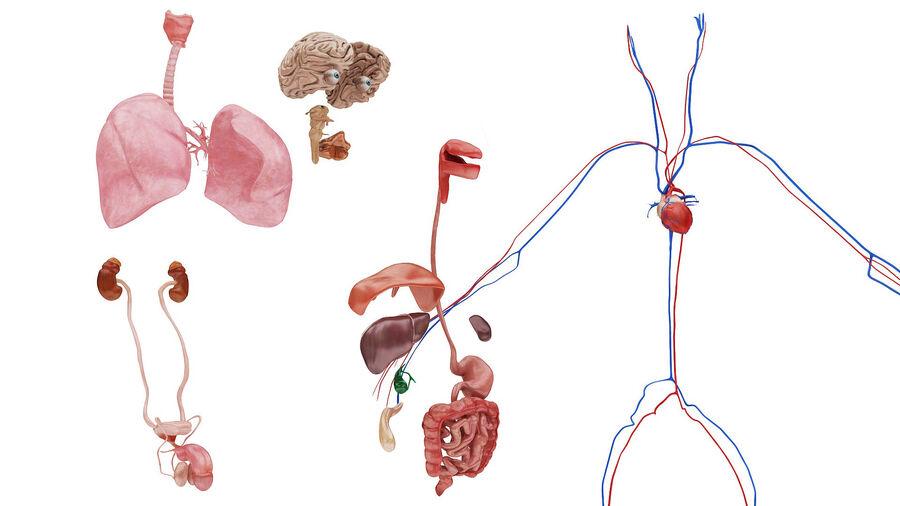 Full Body Anatomy Viscera royalty-free 3d model - Preview no. 49