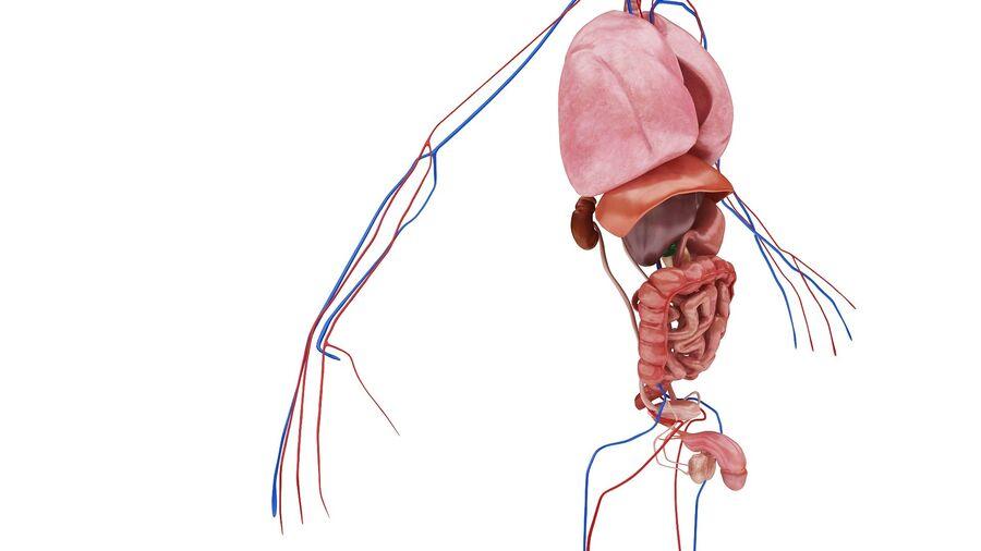 Full Body Anatomy Viscera royalty-free 3d model - Preview no. 15