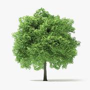 6 Metre Norveç Akça Ağaç 3d model