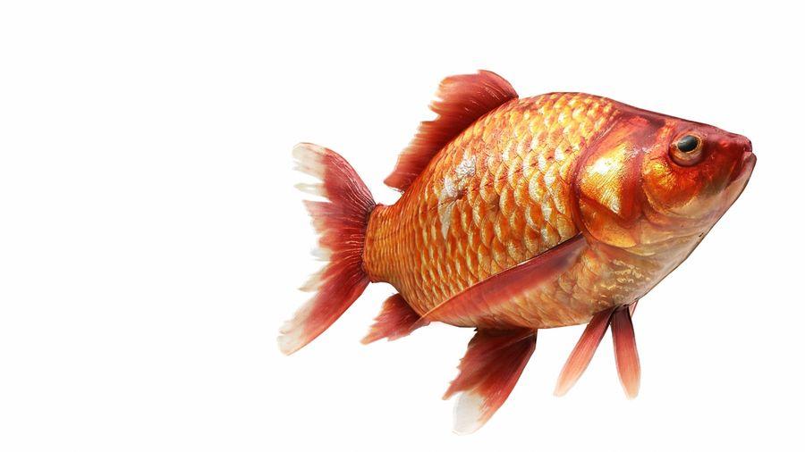 リアルな金の魚 royalty-free 3d model - Preview no. 4