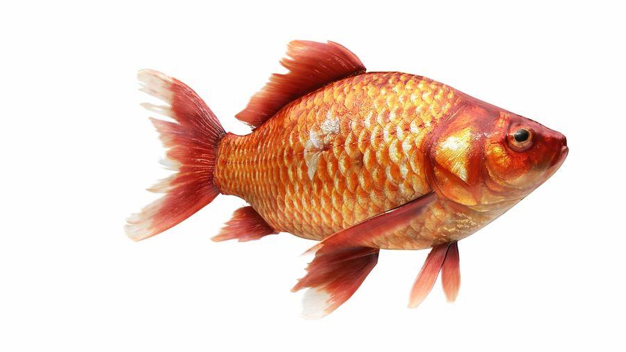 リアルな金の魚 royalty-free 3d model - Preview no. 3