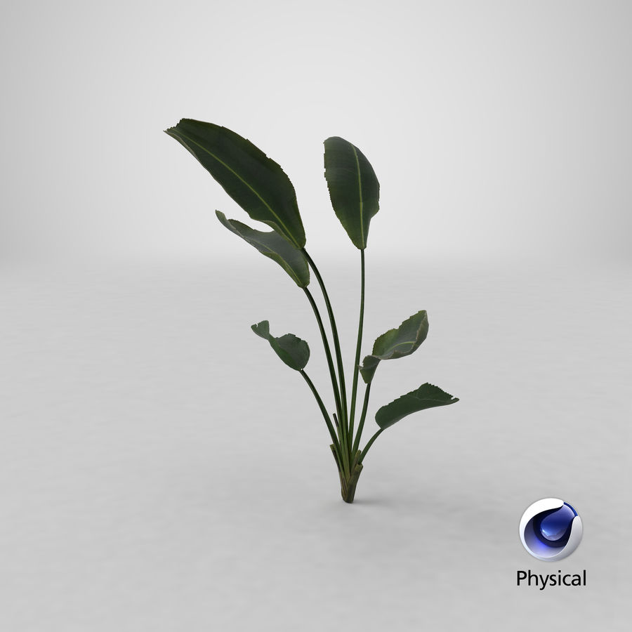 植物鹤望兰 royalty-free 3d model - Preview no. 25