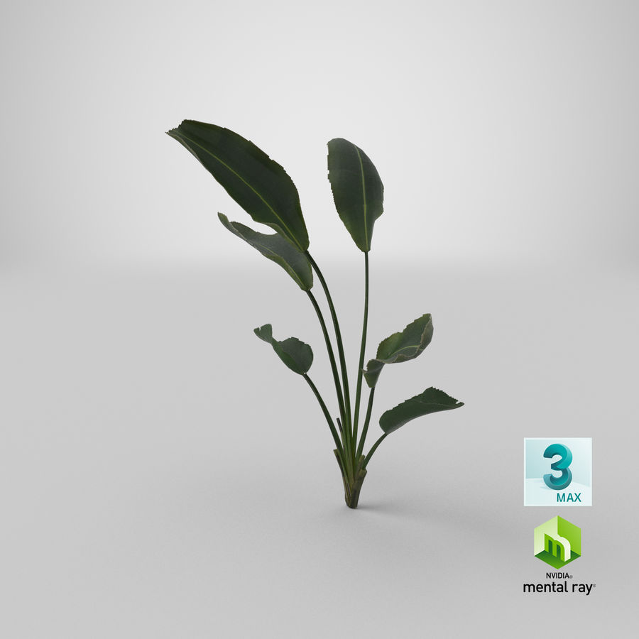 植物鹤望兰 royalty-free 3d model - Preview no. 30