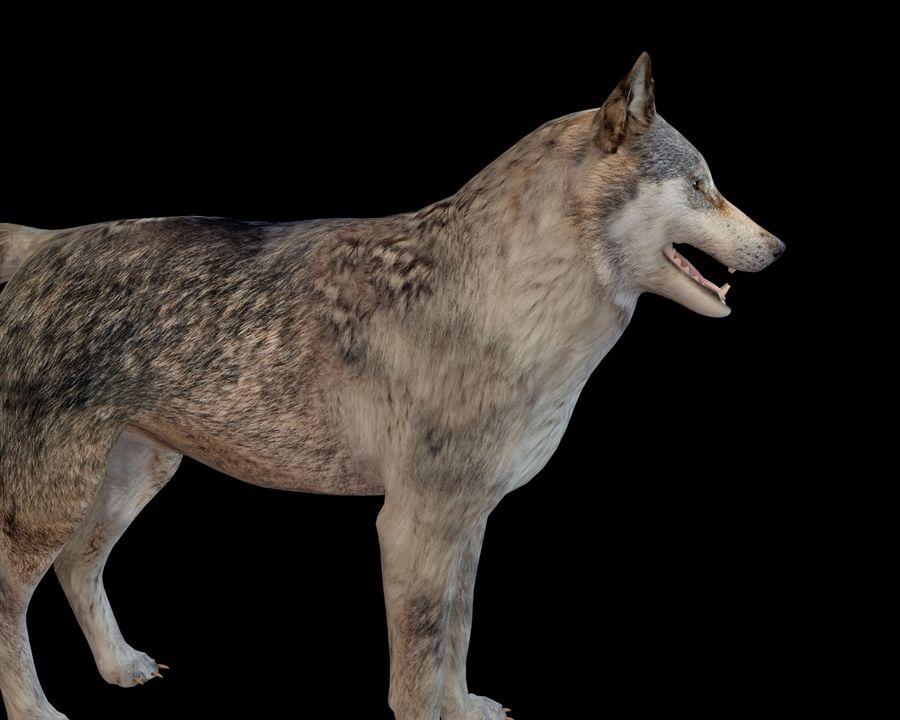 Wolf Rigged royalty-free 3d model - Preview no. 14