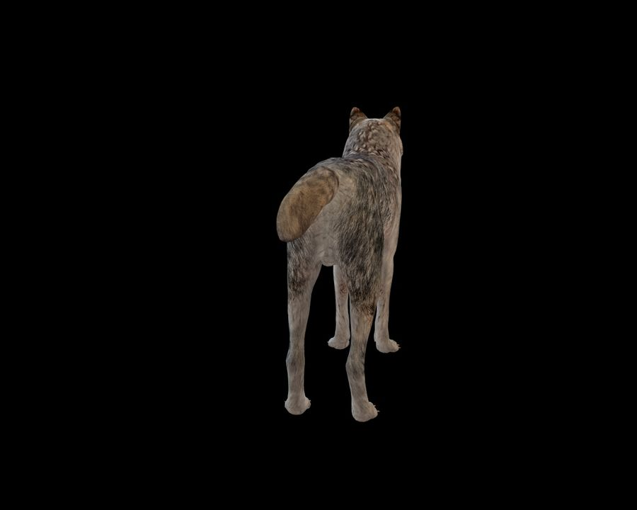 Wolf Rigged royalty-free 3d model - Preview no. 11
